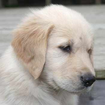 Blonde Golden Retriever Puppy