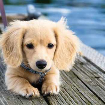 Blonde Long Haired Dachshund For Sale