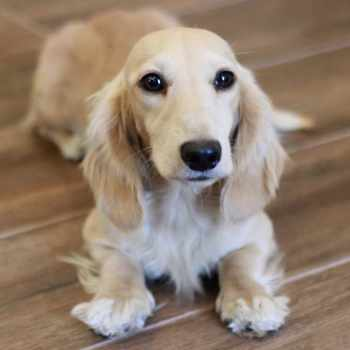Blonde Mini Dachshund
