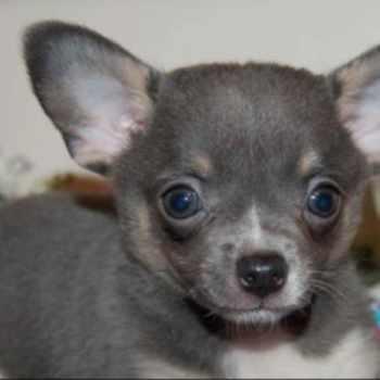 Blue Apple Head Chihuahua