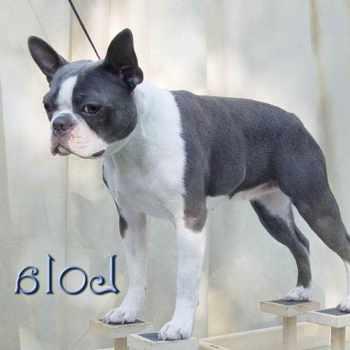 Blue Boston Terrier Breeders