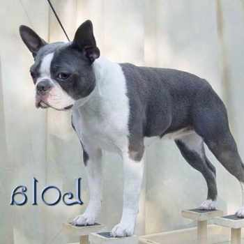 Blue Boston Terrier Puppies For Sale In Texas