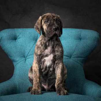 Blue Brindle Great Dane Puppies For Sale