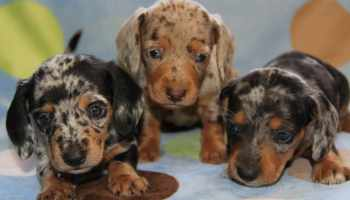 Dapple Dachshund Puppies For Sale In Houston | Pets and Dogs