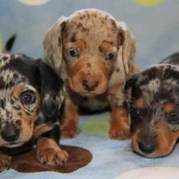 Blue Dapple Dachshund Puppies For Sale