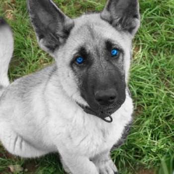 Blue Eyed German Shepherd Puppies