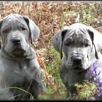 Blue Great Dane Puppies For Sale In Texas