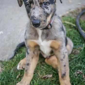 Blue Heeler Catahoula