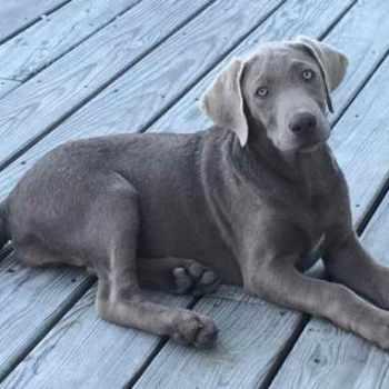 Blue Labrador