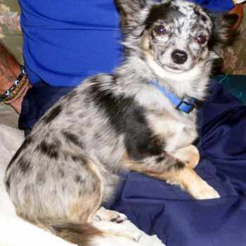 Blue Merle Chihuahua For Sale