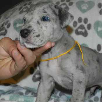 Blue Merle Great Dane Puppy For Sale