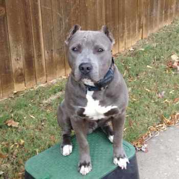 Blue Nose Pit Bull Dogs
