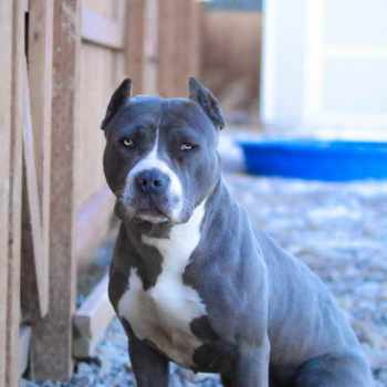 Blue Pit Bull Terrier Puppies