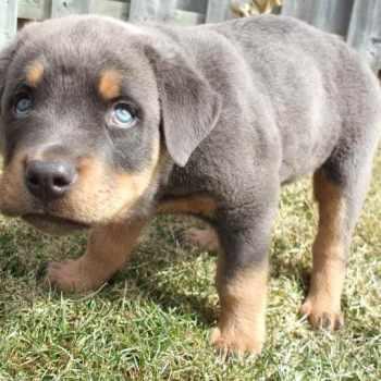 Blue Rottweiler