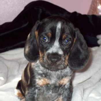 Blue Tick Beagle For Sale