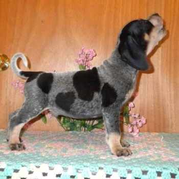 Blue Tick Beagle Puppies For Sale In Pa