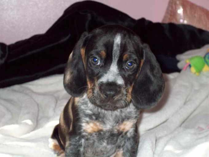 Bluetick Beagle For Sale