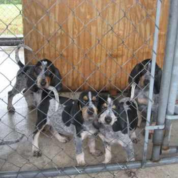 Bluetick Beagle Kennels