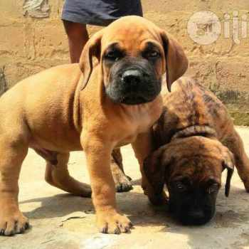 Boerboel Mastiff Puppies For Sale