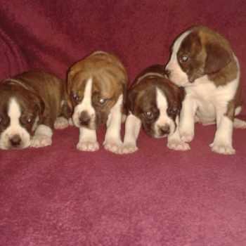 Boglen Terrier Puppies For Sale