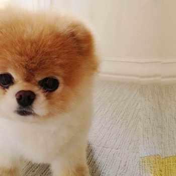 Boo Pomeranian Dog For Sale