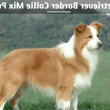 Border Collie Cross Golden Retriever Puppies For Sale