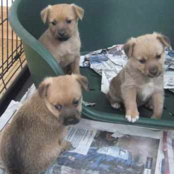 Border Terrier Mix Puppies For Sale