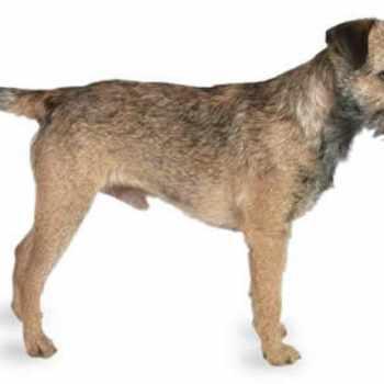 Border Terrier Names