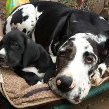 Boston Great Dane Puppies