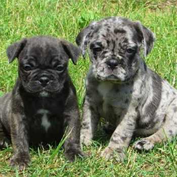 Boston Pug Puppies