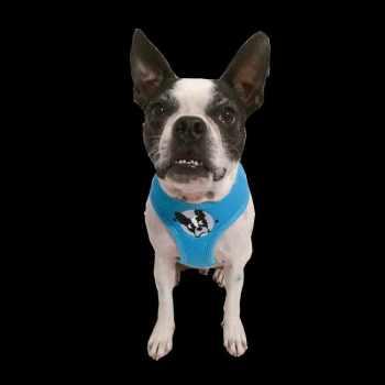 Boston Terrier Adoption Florida