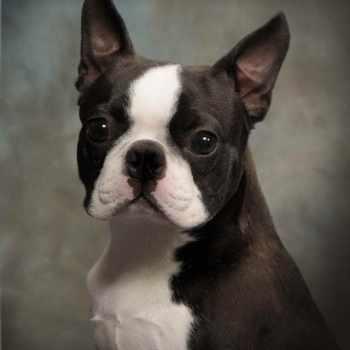 Boston Terrier Adoption Nj