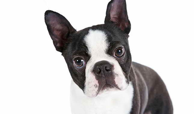 Boston Terrier As Pets