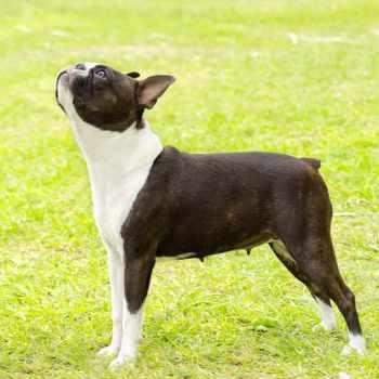 Boston Terrier Barking