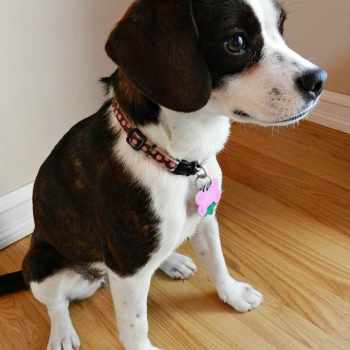 Boston Terrier Beagle Mix Puppies For Sale