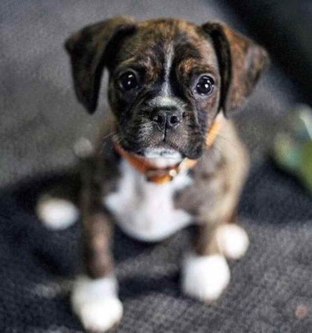 Boston Terrier Boxer Mix Puppies
