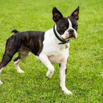 Boston Terrier Breeder Massachusetts