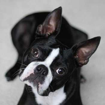 Boston Terrier Breeder Michigan