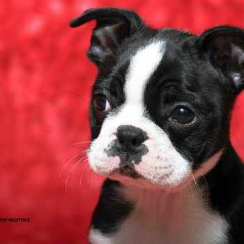 Boston Terrier Breeder Mn