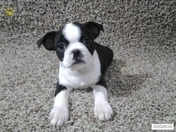 Boston Terrier Breeder Ohio