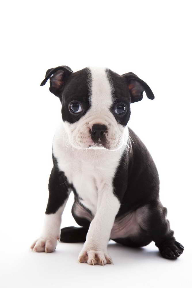 Boston Terrier Breeders In Iowa