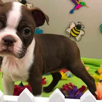 Boston Terrier Breeders Indiana