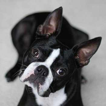 Boston Terrier Breeders Michigan