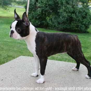 Boston Terrier Breeders New York