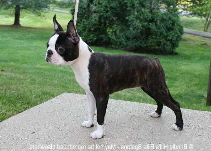 Boston Terrier Breeders Ny