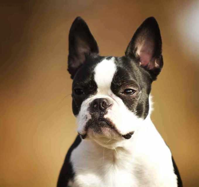 Boston Terrier Bulldog Mix