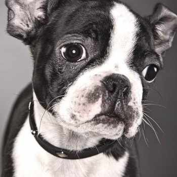 Boston Terrier Bulldog