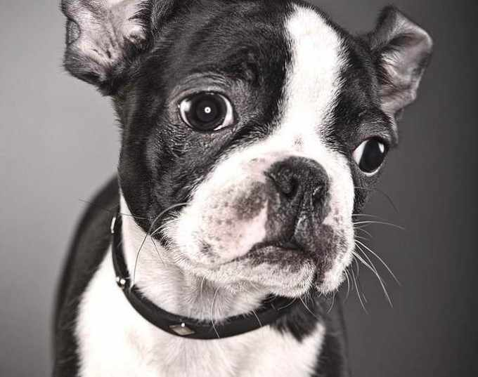 Boston Terrier Bulldog