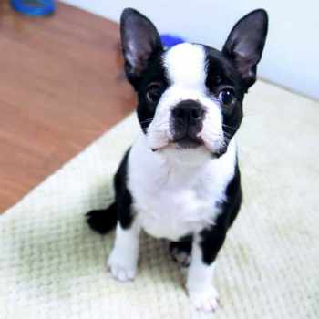 Boston Terrier Buy