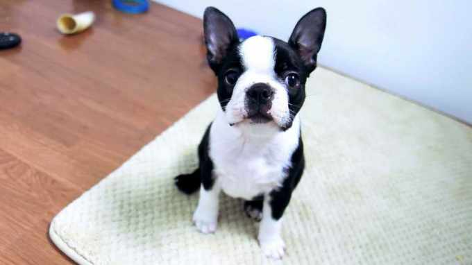 Boston Terrier Buy